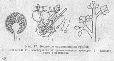 Размножение грибов почкованием