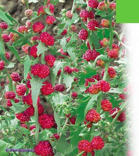 Шпинат земляничный: выращивание из семян, посадка и уход, фото, отзывы