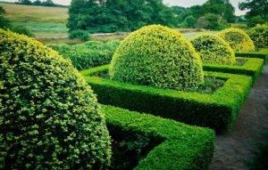 Самшит колхидский (buxus colchica) — обзор материалов по уходу за растением и обработке древесины | зеленый путь