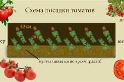 Формирование томатов: зачем это делать и как правильно обрезать томаты в теплице и на улице? на supersadovnik.ru