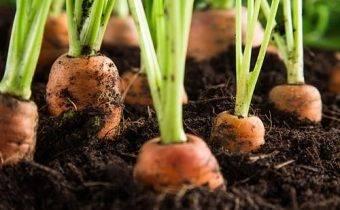Выращиваем морковь в яичных ячейках: пошаговое руководство