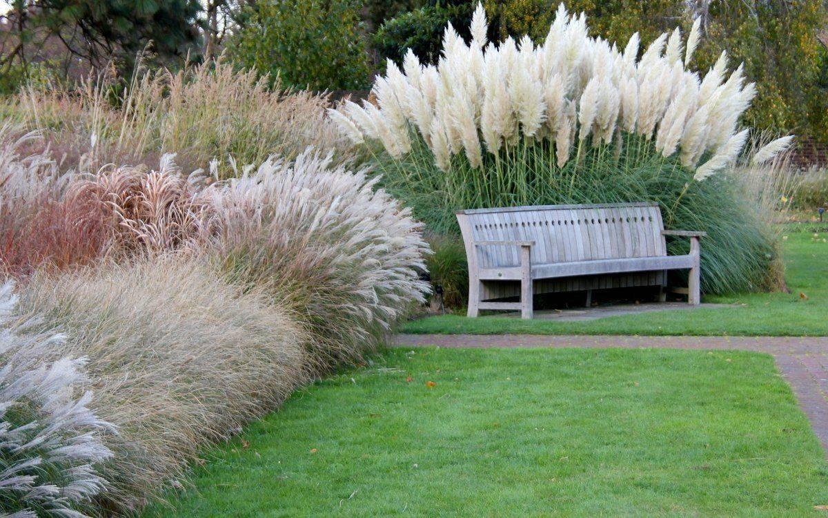 Пампасная трава - все секреты выращивания