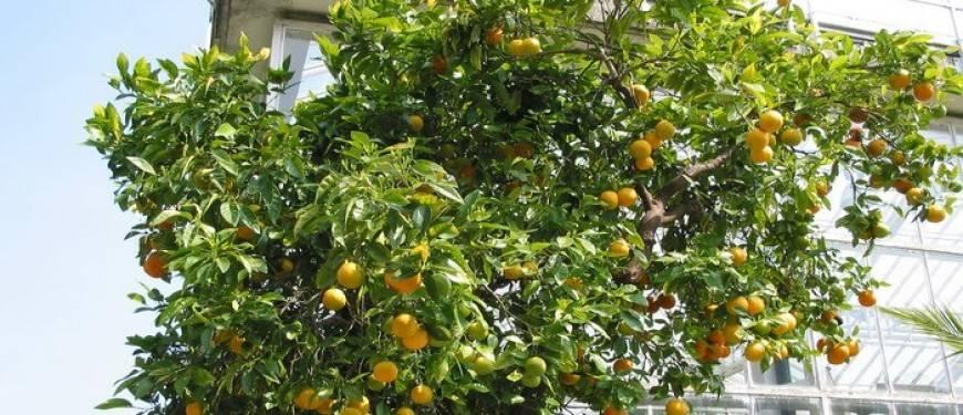 Чем полезен и как вырастить дома горький апельсин (померанец) - plodovie.ru