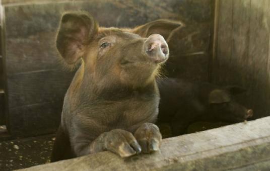 Чем полезны премиксы для свиней и как их применять