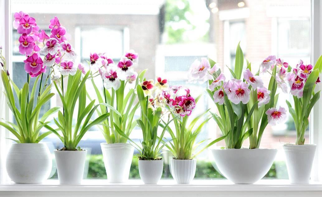 Орхидея мильтония: уход в домашних условиях, размножение, пересадка, почему желтеет