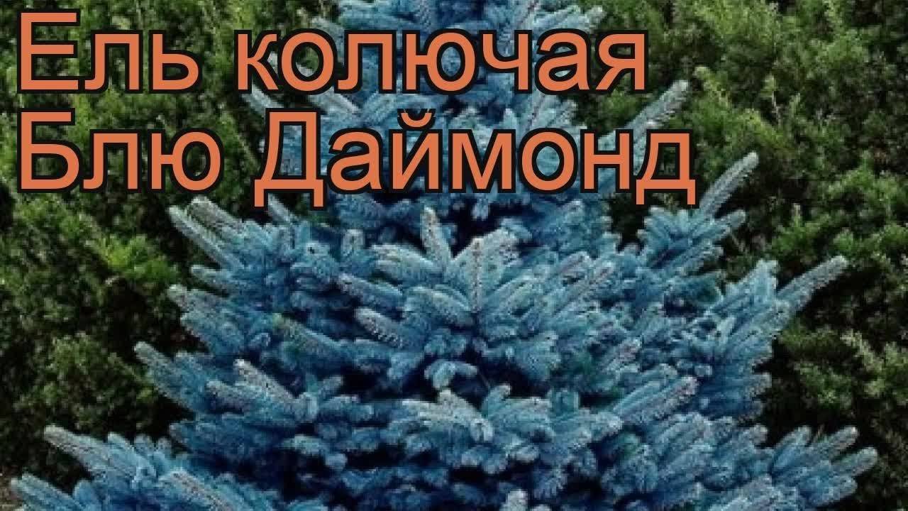 Голубая ель (голубой бриллиант) - domwtf