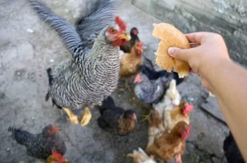 Можно ли кормить кур несушек хлебом? почему нельзя?