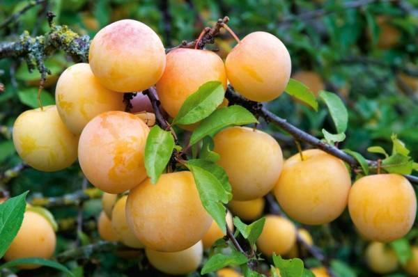 ✅ слива генеральская: описание и характеристика сорта, особенности выращивания и ухода, фото - tehnoyug.com