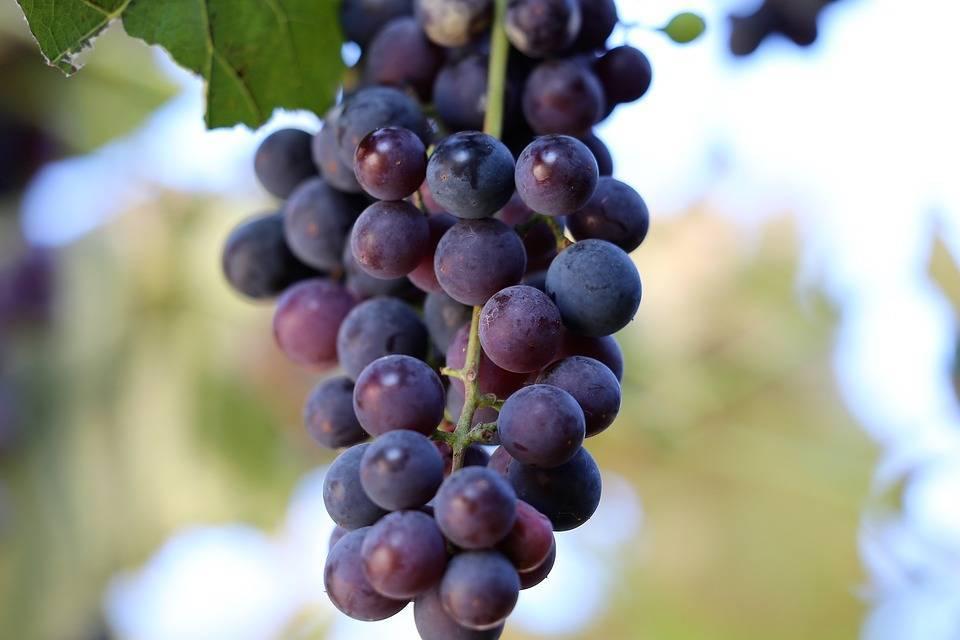 Виноград «Изабелла»: описание сорта, польза и вред, фото, отзывы
