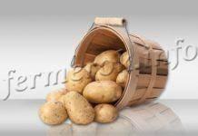 Как правильно выращивать картофель сорта адретта
