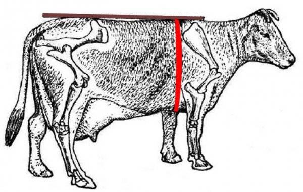 Выпойка бычков и тёлок молоком. меню до 2-х мес. (схемы!)