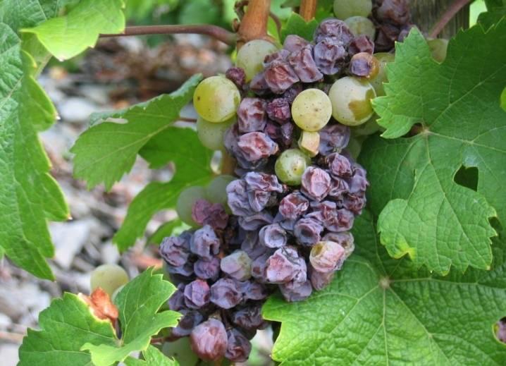 Железный купорос для винограда. обработка винограда железным купоросом осенью перед укрытием на зиму