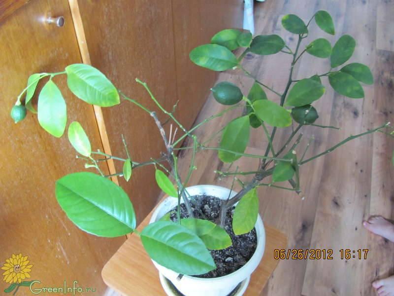 У лимона опадают листья - почему это происходит и что делать, зачем комнатный лимон сбрасывает листья
