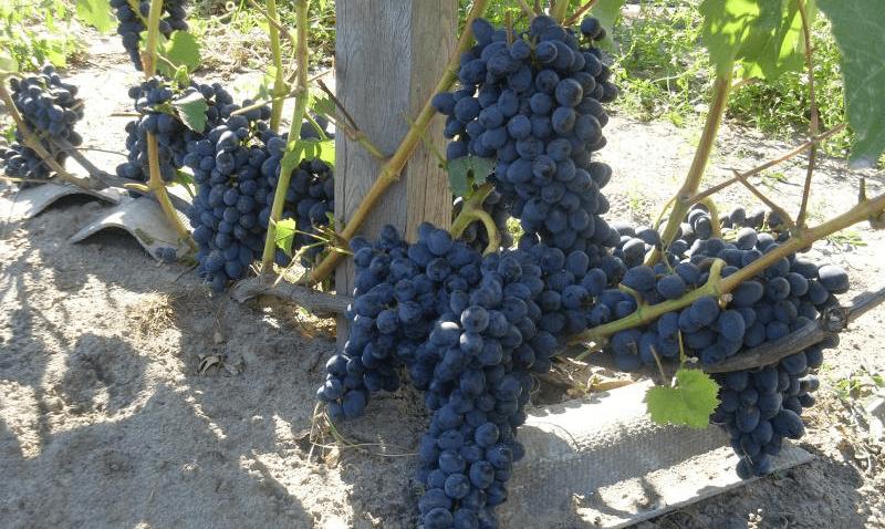 Виноград чарли: описание сорта, посадка и уход