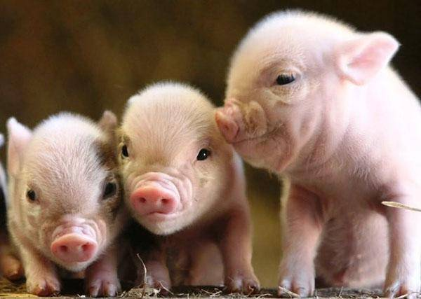 Комбикорм для свиней: состав комбикорма для поросят. как сделать его своими руками в домашних условиях? сколько комбикорма свинья съедает за день?