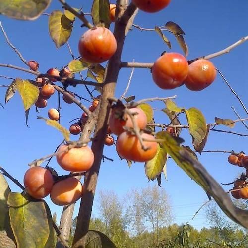 Описание сортов хурмы - блог фермера