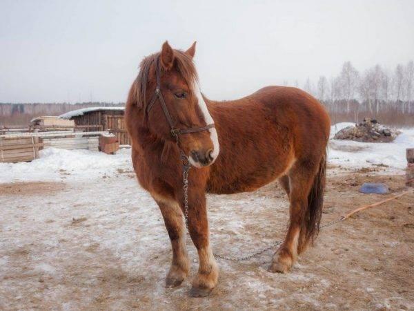 Русский тяжеловоз: описание породы, характеристика, фото