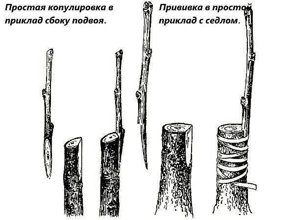 Основные способы прививки плодовых деревьев и кустарников