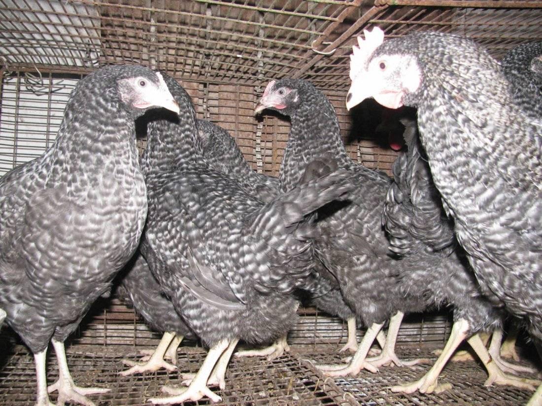 Мясо-яичные цыплята амрокс: уход без хлопот