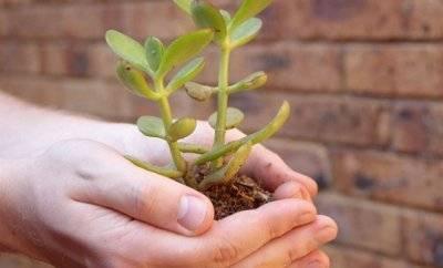 Мягкие листья у денежного дерева: что делать, если они стали вялыми и сморщились, почему это происходит с толстянкой, в том числе зимой, и причины, уход за крассулой selo.guru — интернет портал о сельском хозяйстве