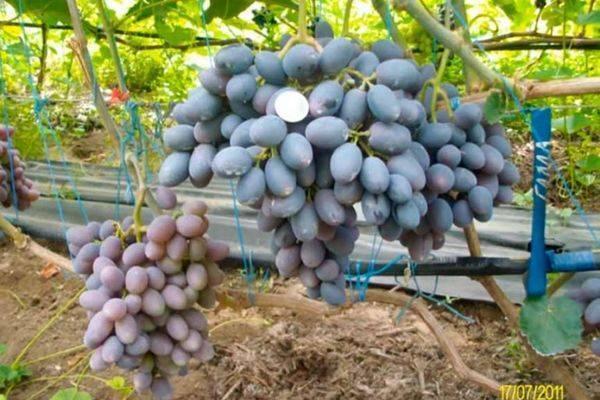 "Виноград ""левокумский"": описание сорта, посадка, уход и фото"