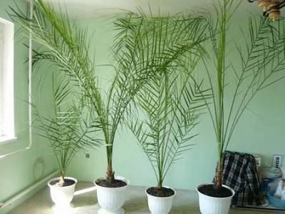Финиковая пальма в домашних условиях - выращивание из косточки, фото, уход, пересадка