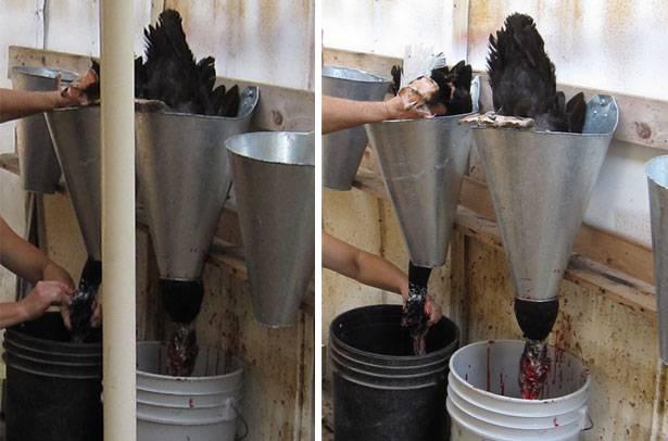 Как быстро ощипать утку в домашних условиях вручную: как правильно очистить от перьев без пеньков