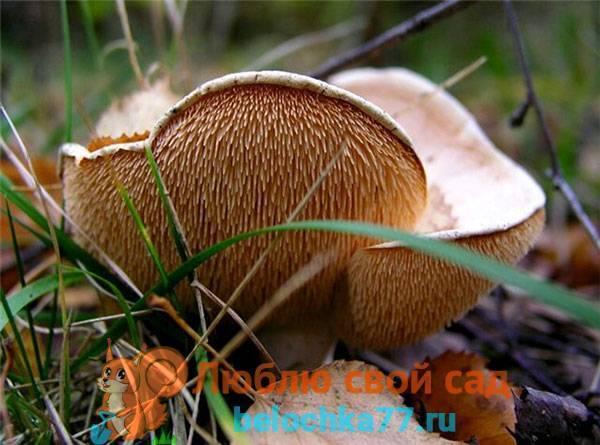 Ежовик белый: фото, описание и как готовить этот гриб