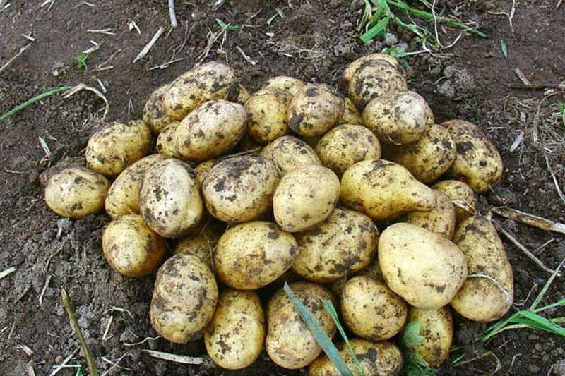 Картофель каратоп: описание сорта, фото, отзывы, характеристика, урожайность