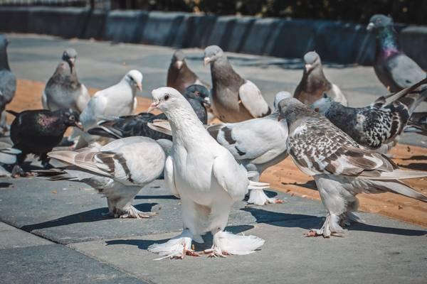 Венгерские голуби: фото, описание