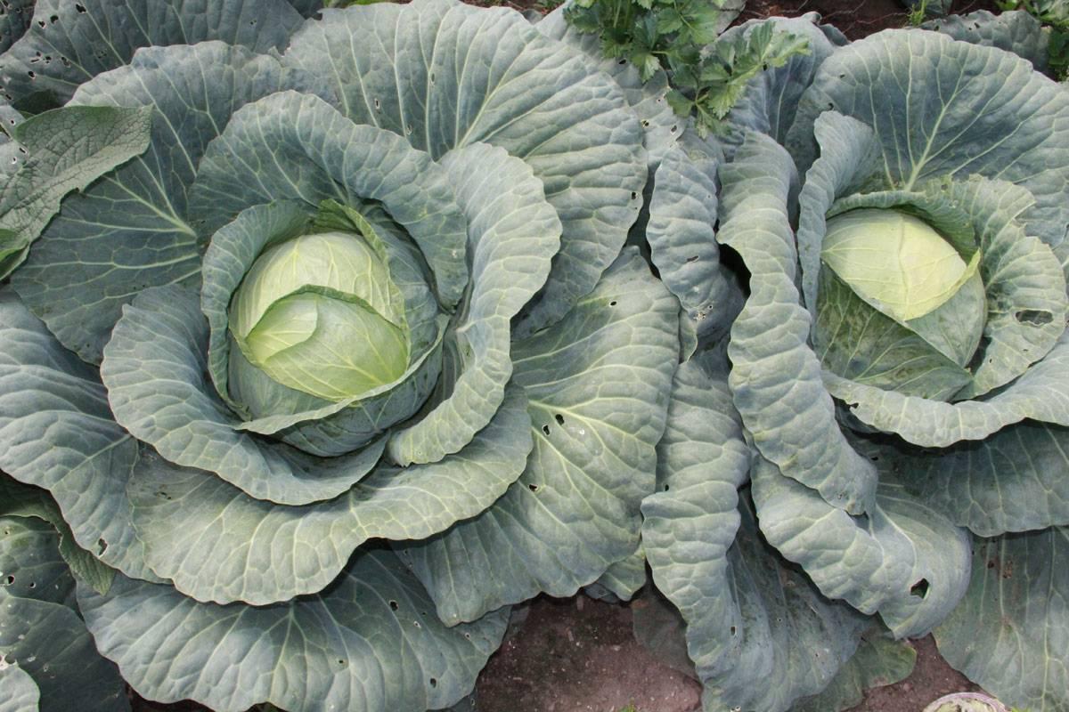 Капуста крауткайзер: описание гибрида, характеристики, инструкция по выращиванию из семян, фото урожая