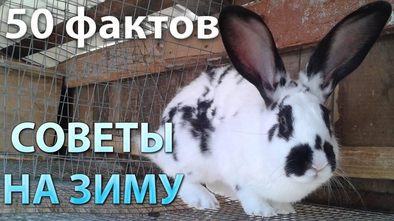 Как содержать кроликов зимой на улице в домашних условиях