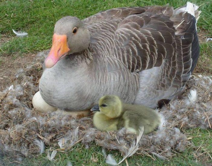 Сколько яиц подкладывать под наседку: как правильно ухаживать