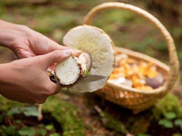 Съесть червивый гриб. грибникам на заметку: можно ли есть червивые грибы? как избавиться от червей в грибах