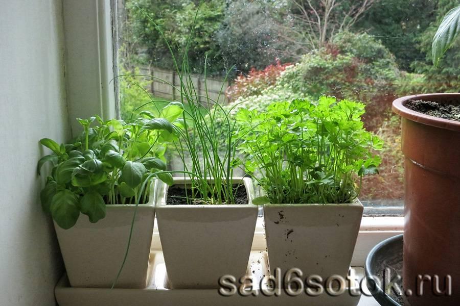 Зелень на подоконнике: как и какую зелень можно вырастить, посадка, уход
