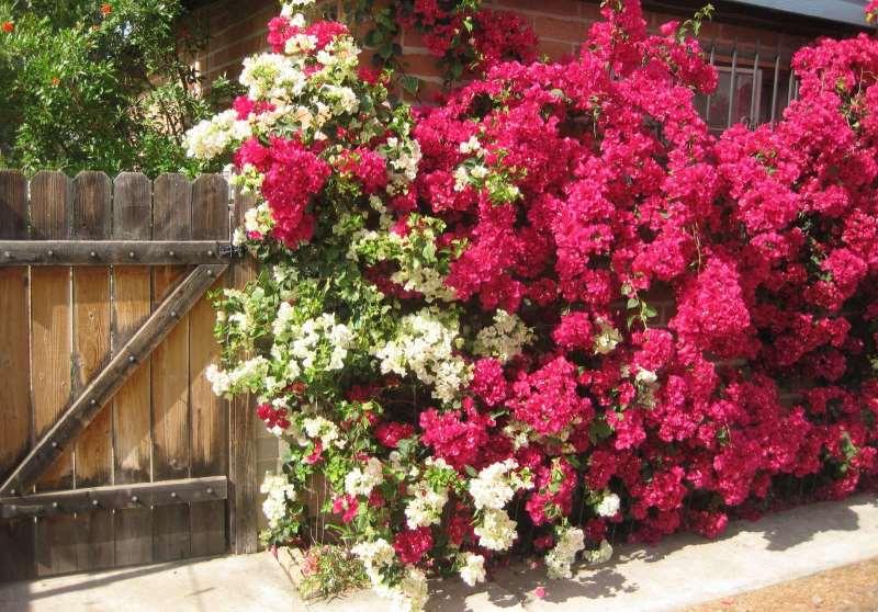 Бугенвиллия: выращивание и уход в домашних условиях, размножение и обрезка, фото цветка и значение для дома