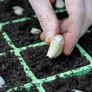 Все о декоративных видах чеснока: как посадить и ухаживать, можно ли его есть