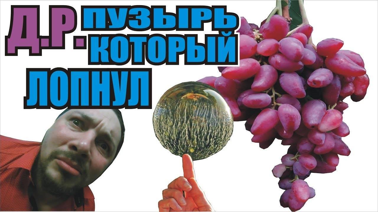 О винограде дубовский розовый: описание и характеристики сорта, посадка и уход