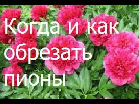 Обрезка пионов после цветения: когда и как   мир садоводства