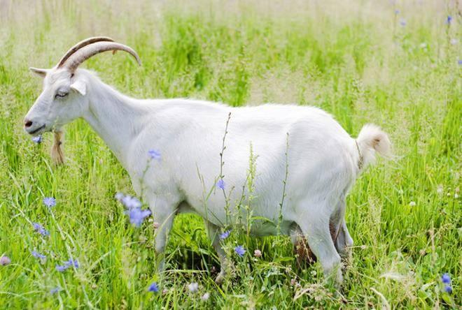 Признаки окота козы и что делать дальше, послеродовой уход и проблемы