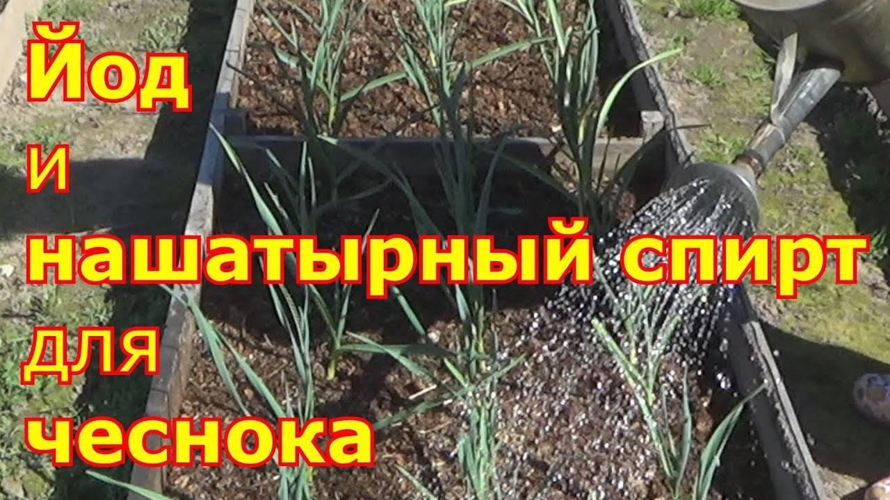 ✅ как подкармливать чеснок нашатырем: пропорции для полива чеснока весной - tehnomir32.ru