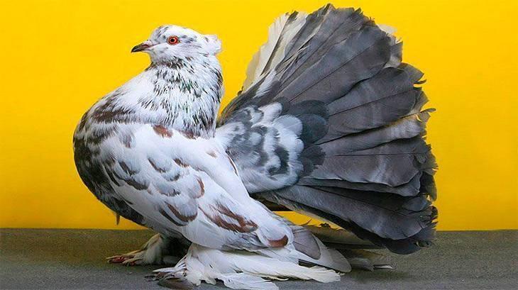 Дикий и полудомашний сизый голубь