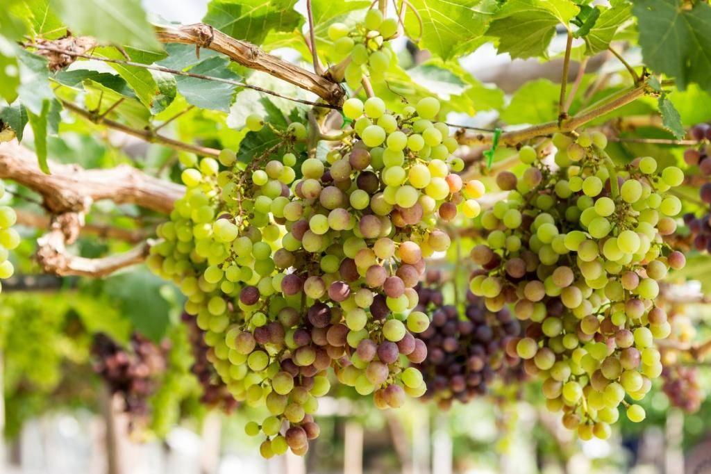 Выращивание винограда из черенков весной: проращивание и укоренение в домашних условиях
