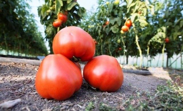 Томат махитос f1: характеристика и описание голландского сорта, отзывы тех кто сажал и выращивал помидоры об их урожайности, видео и фото куста, правило посадки семян в открытый грунт