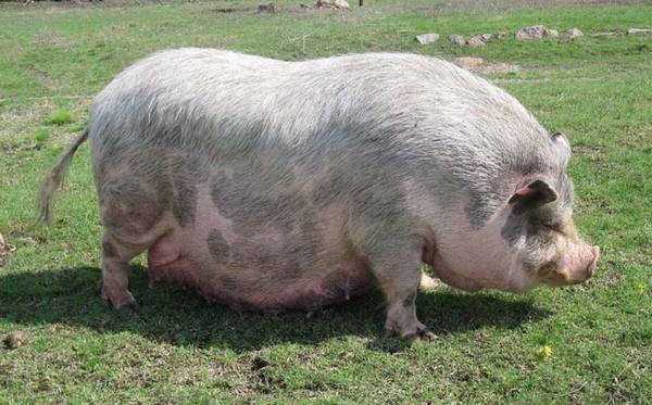 Разведение свиней в домашних условиях: секреты, нюансы