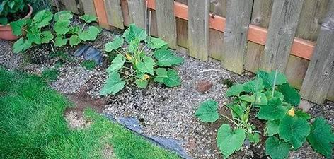 Кабачки посадка и уход в открытом грунте, полив, удобрение, обработка