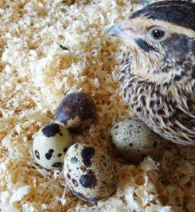 Сколько яиц несет перепелка в день и как увеличить яйценоскость