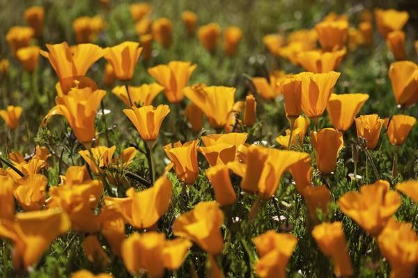 Эшшольция: описание, выращивание, посадка, уход | (80+ фото)