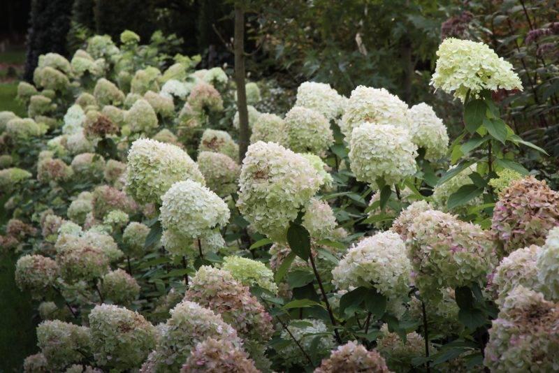 Гортензия на урале (59 фото): посадка и уход за садовой гортензией в открытом грунте. выращивание зимостойких гортензий метельчатых и других видов и сортов