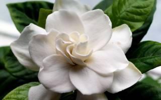 Цветок гардения – описание и уход в домашних условиях